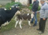 Luksemburg: Septembarska akcija – Krava i tele predati porodici Pačariz