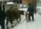 Luksemburg: Okončana januarska akcija: Krava i tele predati porodici Camić