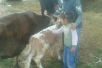 Luksemburg: Aprilska akcija urodila plodom – Krava i tele predati porodici Kožar