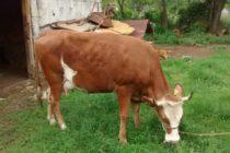Luksemburg: Okončana majska akcija – Predata krava porodici Taraniš