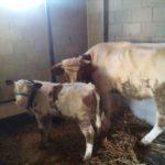 Luksemburg/Kosovo: Okončana oktobarska akcija: – Krava i tele predati porodici Ćorović