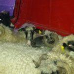 Luksemburg/Bosna: Okončana novembarska akcija – Osam ovaca predato Safetu Čormehiću