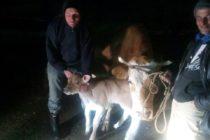 Luksemburg/Sandžak: Okončana januarska akcija – Krava i tele predati porodici Murić
