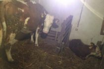 Luksemburg/Kosovo: Okončana februarska akcija – Krava i tele predati porodici Hot