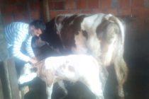 Luksemburg/Sandžak: Okončana majska akcija – Krava i tele predati porodici Huremović