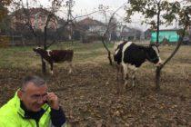 Luksemburg/Makedonija: Okončana novembarska akcija: Steona krava i tele predati porodici Čolaković