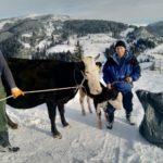 Luksemburg/Sandžak: Okončana decembarska akcija – Krava i tele predati porodici Škrijelj