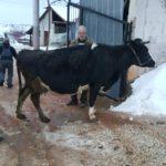 Luksemburg: Jedan mjesec – tri krave za socijalno ugrožene porodice