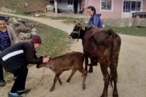 Luksemburg/Sandžak: Okončana februarska akcija: Krava i tele za porodicu Ljuca