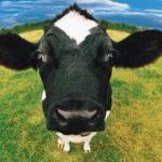 Luksemburg/Makedonija: Okončana aprilska akcija – Obezbijeđena krava porodici Ramani