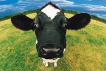 Luksemburg/Makedonija: Okončana akcija za mjesec decembar – Sakupljena sredstva za kupovinu krave porodici Hamidović