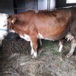 Luksemburg/Kosovo: Okončana junska akcija – Predata krava porodici Agović