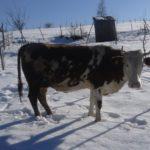 Luksemburg/Sandžak: Dodijeljene dvije krave u januaru – Ukupno 50 krava od početka akcije (FOTO)