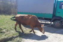 Luksemburg/Bosna: Dodijeljena i druga krava za mjesec mart