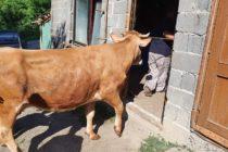 Luksemburg/Bosna/Kosovo: Dodijeljene krave za jun i jul – Obradovane porodice Mušinović i Destanović