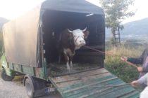 Luksemburg/Sandžak/Makedonija: Dodijeljene krave za avgust i septembar – Obradovane porodice Kajević i Baltič