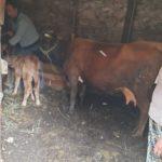 Luksemburg/Kosovo: Krava i tele obradovali porodicu Kurta – Sa novembarskom akcijom dosegnut broj od 62 udijeljene krave