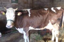 Luksemburg/Makedonija: Okončana januarska akcija – Predata krava porodici Prpuzović