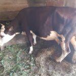Luksemburg: Okončana junska akcija – Steona krava predata porodici Kozlić