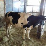 Luksemburg/Makedonija: Okončana avgustska akcija – Steona krava predata porodici Rizvanović