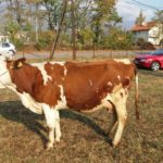 Luksemburg/Kosovo: Okončana septembarska akcija – Predata steona krava porodici Trubljanin