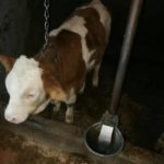 Luksemburg/Bosna/Kosovo: Martovska humanitarna akcija – Krava i junad za dvije ugrožene porodice