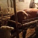 Luksemburg/Kosovo: Okončana oktobarska akcija – Predata krava porodici Tiganj