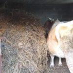 Luksemburg/Bosna: Okončana novembarska akcija – Predata krava porodici Spahić