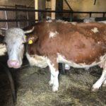Luksemburg/Kosovo: Okončana akcija za mjesec februar – Predata krava porodici Kovačević