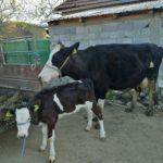 Luksemburg/Makedonija: Okončana aprilska akcija – Krava i tele predati porodici Rožajac