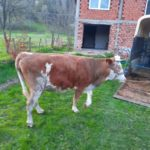 Luksemburg/Bosna: Okončana junska akcija – Predata krava porodici Habibović