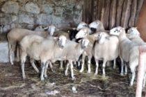 Luksemburg/Sandžak: Okončana julska akcija – 14 ovaca predato porodici Rovčanin