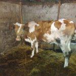 Luksemburg/Sandžak/Kosovo: Predate krave porodici Šabotić i porodici Hot